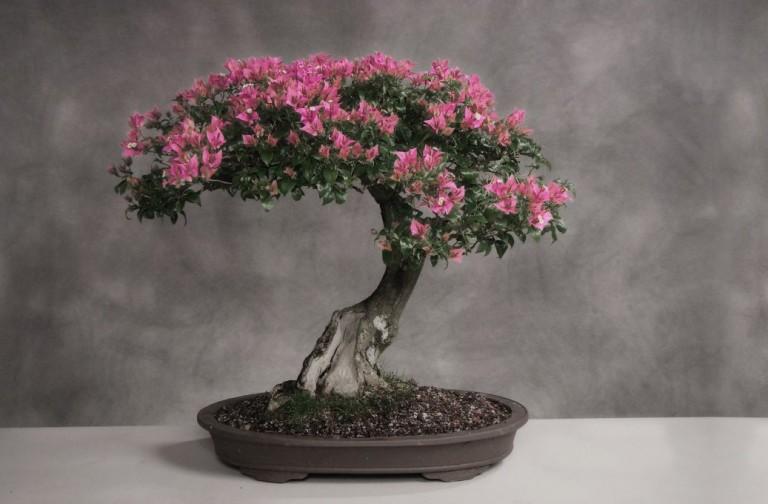 Бізнес-ідея вирощування японського дерева бонсай